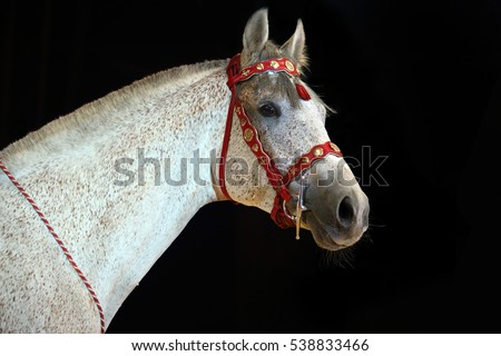 Gray polo pony portrait in dark background