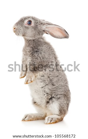 Gray rabbit - stock photo