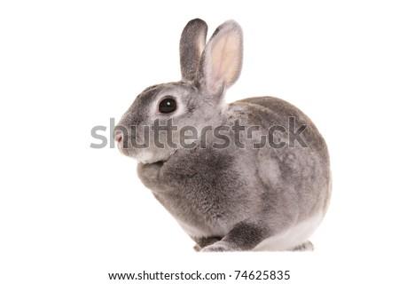 Gray  rabbit - stock photo