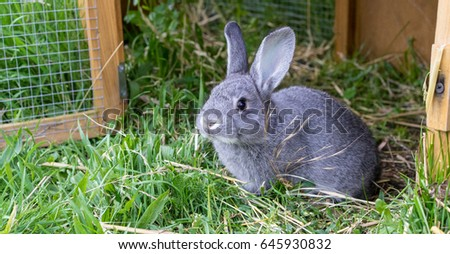 Gray rabbit in front of the rabbit barn / little gray rabbit / chinchilla rabbit