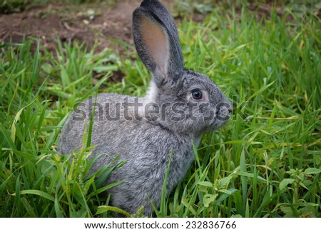 gray rabbit on green grass background