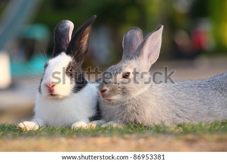 gray rabbit sitting with spotted white rabbit in the park-outdoor. - stock photo