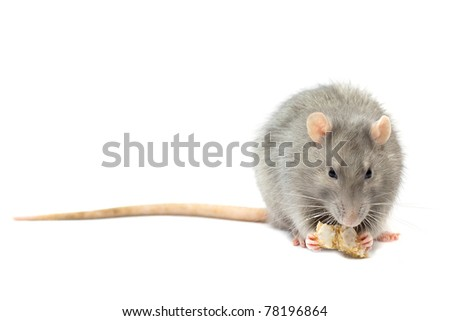 Gray rat  on white
