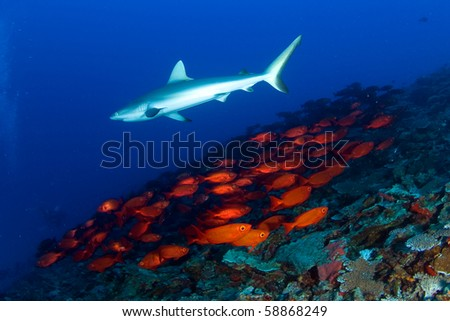 Gray reef shark and school of fish - stock photo