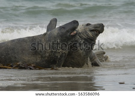 Gray seal, Halichoerus grypus, Wadden Sea, North Sea, North Germany