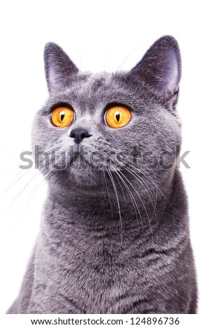 gray shorthair British cat with bright yellow eyes isolated on a white background - stock photo