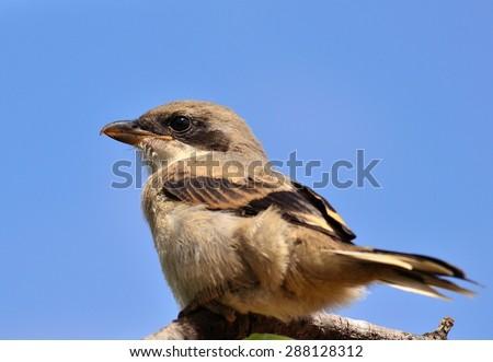 Gray shrike on blue sky - stock photo