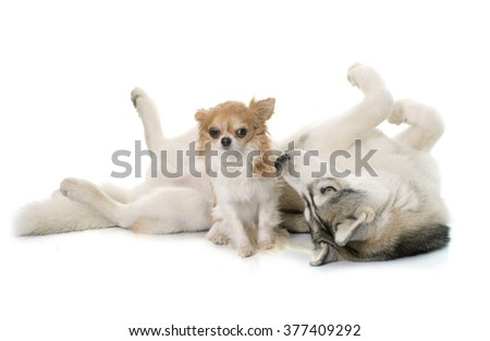 gray siberian husky and chihuahua in front of white background