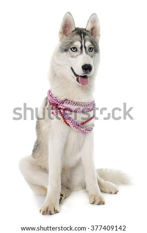 gray siberian husky and collar in front of white background