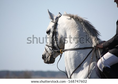 Gray sport horse portrait during competition - stock photo