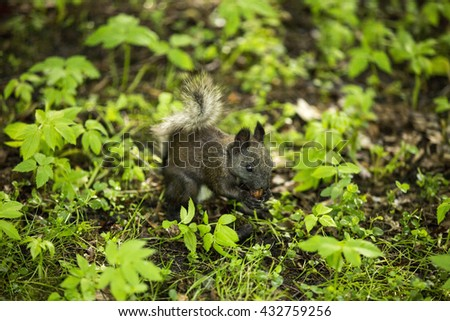 Gray squirrel in the grass eating nut