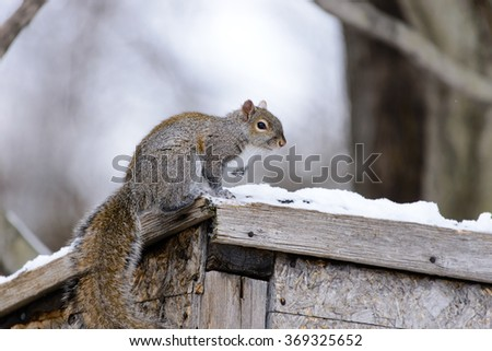 GRAY SQUIRREL ON A SHED ROOF