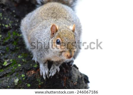 Gray squirrel on tree - stock photo