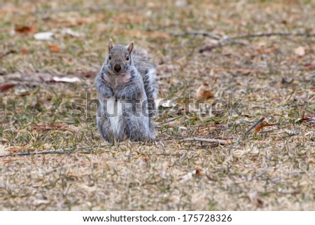 Gray Squirrel running about at a park in soft focus