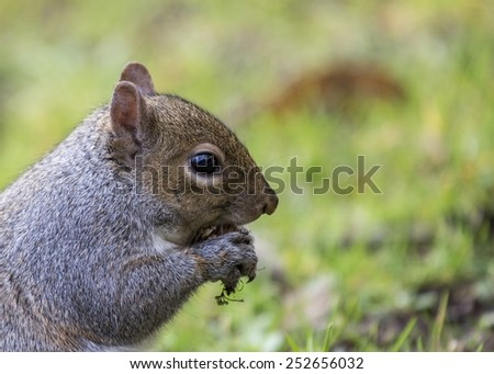 Gray Squirrel spotted in National Botanic Gardens, Dublin Ireland