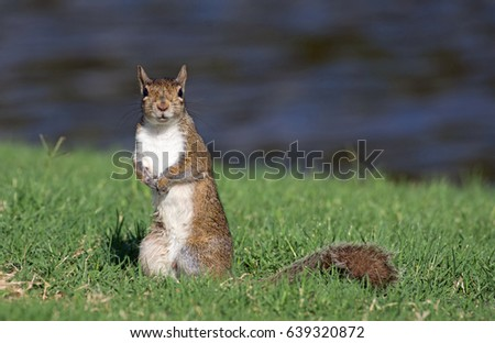 Gray Squirrel standing on lake bank