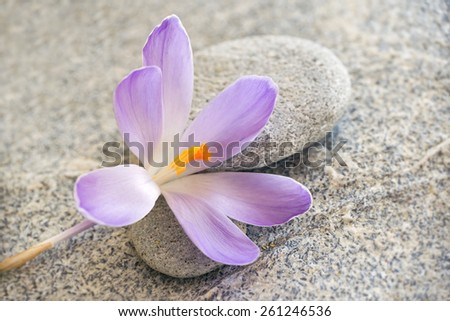 Gray stone and pebble zen background with blue crocus flower  - stock photo