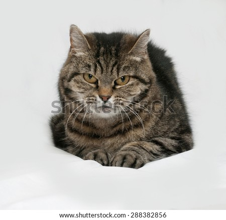 Gray striped cat lies on gray background