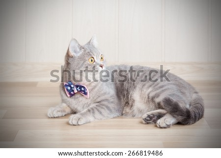 gray striped cat lies on the floor with a beautiful bow at the neck - stock photo