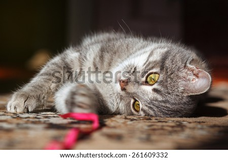 gray striped cat playing with red thread - stock photo