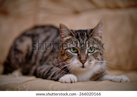 Gray striped domestic cat with green eyes. - stock photo
