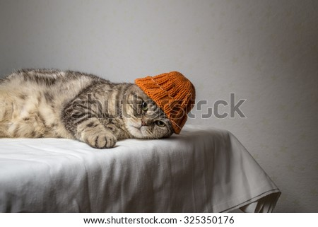 gray striped scottish fold cat with a funny orange winter hat on his head lies on a table covered with a white cloth and looking at the camera - stock photo