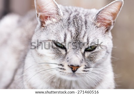 gray tabby cat close-up portrait - stock photo