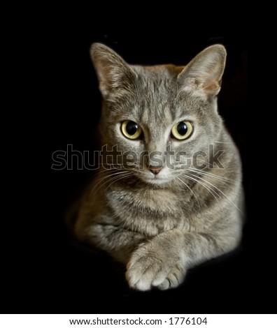 Gray tabby cat isolated on black - stock photo