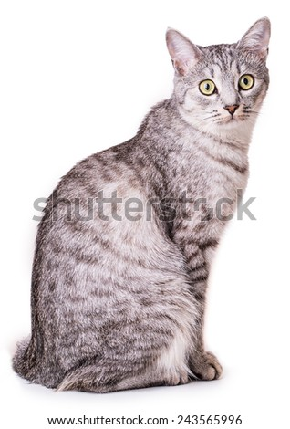 gray tabby cat Isolated on white background - stock photo