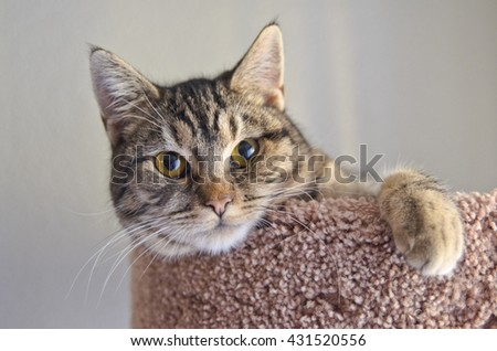 Gray tabby cat laying on brown bed - stock photo