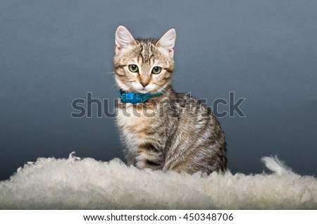 Gray Tabby cat on Fluffy Carpet - stock photo