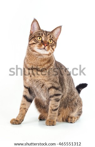 Gray tabby cat on white background