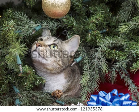 Gray Tabby cat starring at golden ornament while inside of Christmas Tree - stock photo