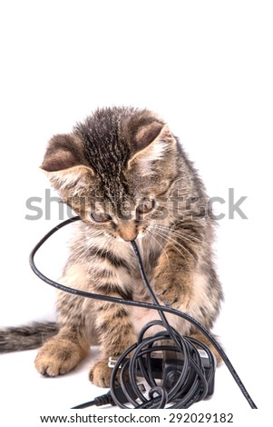 gray tabby kitten chews on the charger cable on white background - stock photo