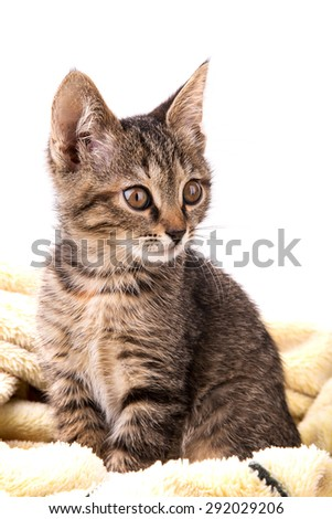 gray tabby kitten on a soft yellow blanket