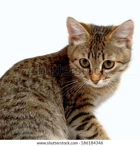Gray tabby kitten on a white background.
