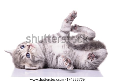 gray tabby Scottish kitten lies on his back and played. animal isolated on white background