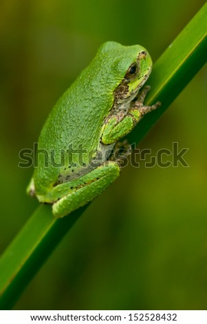 Gray Tree Frog clinging to a blade of grass.