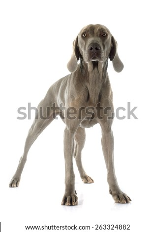 Stock images royalty free images vectors shutterstock for Weimaraner coloring pages