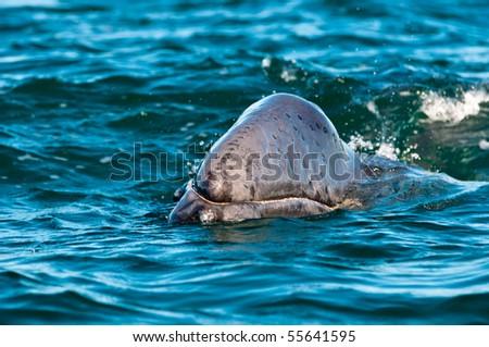 Gray Whale in Guerrero Negro, Mexico - stock photo