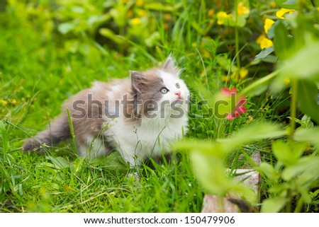 gray, white angry kitten with blue eyes and open mouth and sharp teeth on grass