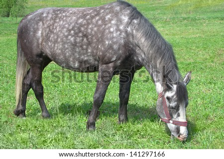 Gray with white spots horse eating grass in a pasture.
