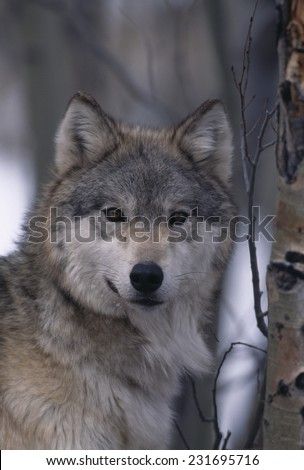 Gray Wolf by Trees