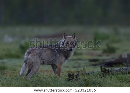 Gray wolf (Canis lupus) at night in summer. Finland. Taiga.