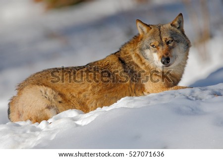 Gray wolf, Canis lupus, lying in the white during winter. Snowy forest with dangerous animal. Wofl in snow wood during cold winter. Wildlife scene from Norway nature.