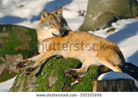 Gray wolf, Canis lupus, lying on stone, at white snow, nature habitat in the forest, Norway  - stock photo
