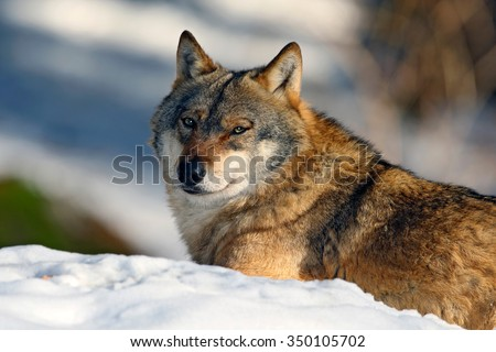 Gray wolf, Canis lupus, portrait at white snow, Norway - stock photo