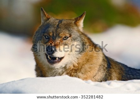 Gray wolf, Canis lupus,  portrait with stuck out tongue, at white snow - stock photo
