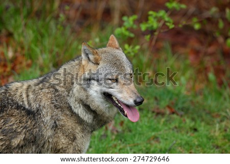 Gray wolf, Canis lupus, portrait with stuck out tongue, in the spring light green leaves forest - stock photo