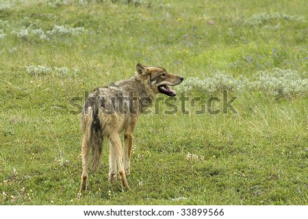 Gray Wolf (Canis lupus) - Profile